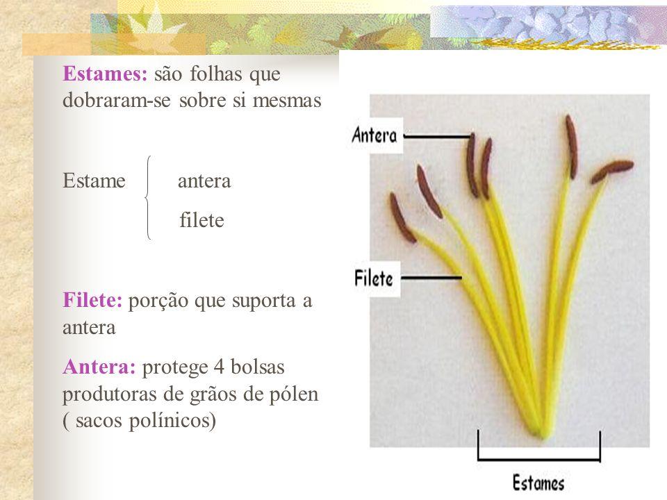 Estames: são folhas que dobraram-se sobre si mesmas