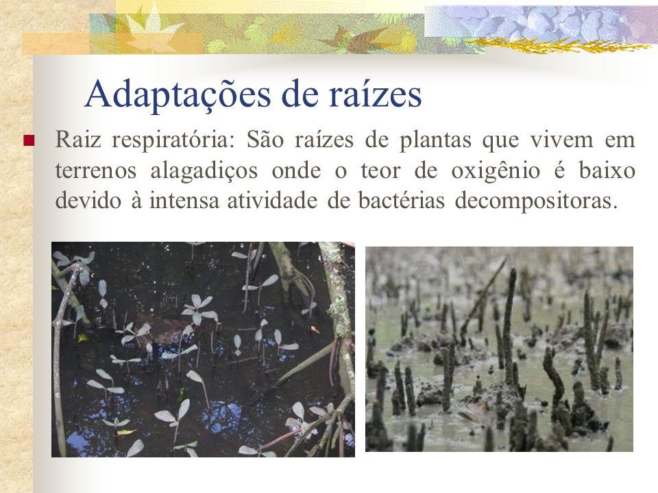 Adaptações de raízes