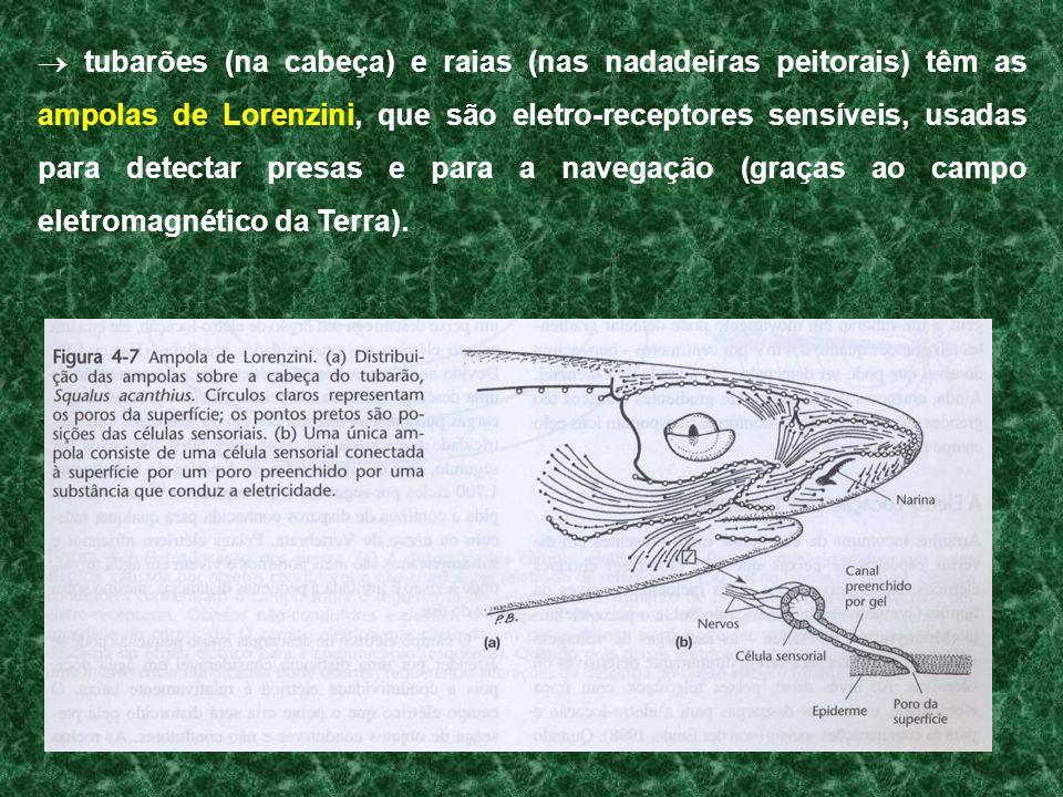  tubarões (na cabeça) e raias (nas nadadeiras peitorais) têm as ampolas de Lorenzini, que são eletro-receptores sensíveis, usadas para detectar presas e para a navegação (graças ao campo eletromagnético da Terra).