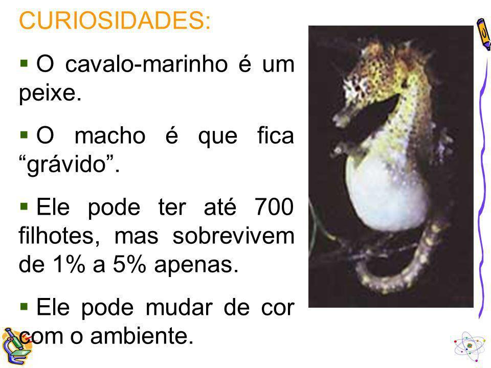 CURIOSIDADES: O cavalo-marinho é um peixe.
