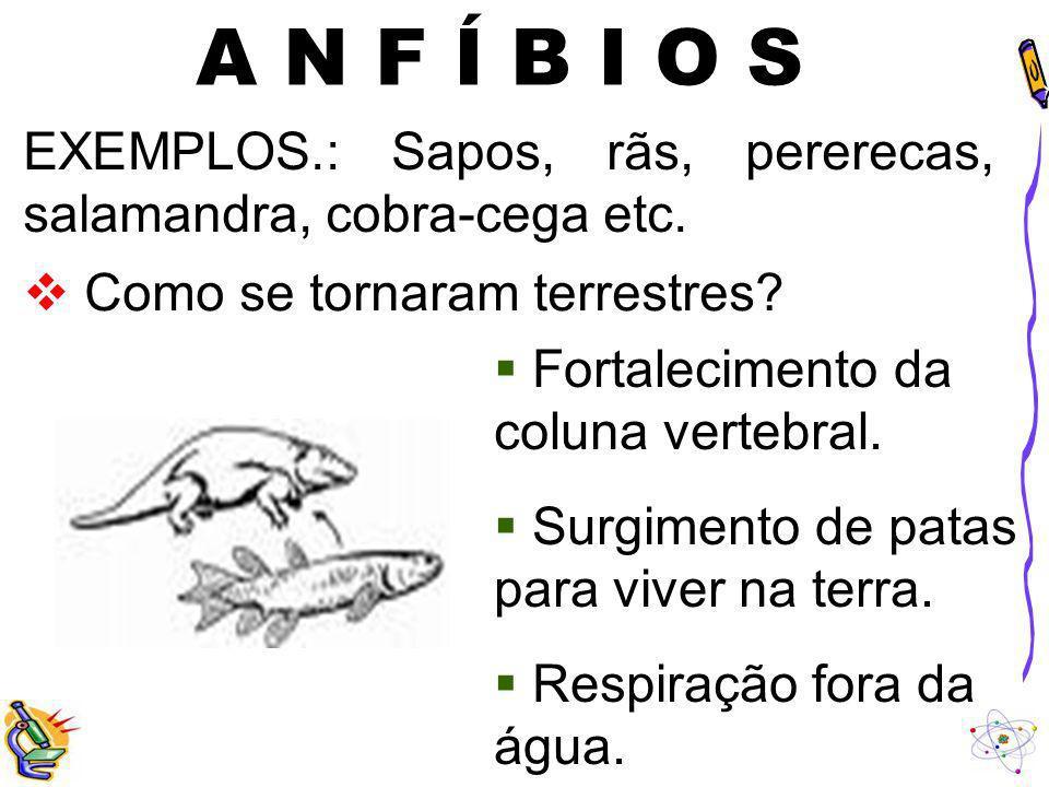 A N F Í B I O S EXEMPLOS.: Sapos, rãs, pererecas, salamandra, cobra-cega etc. Como se tornaram terrestres