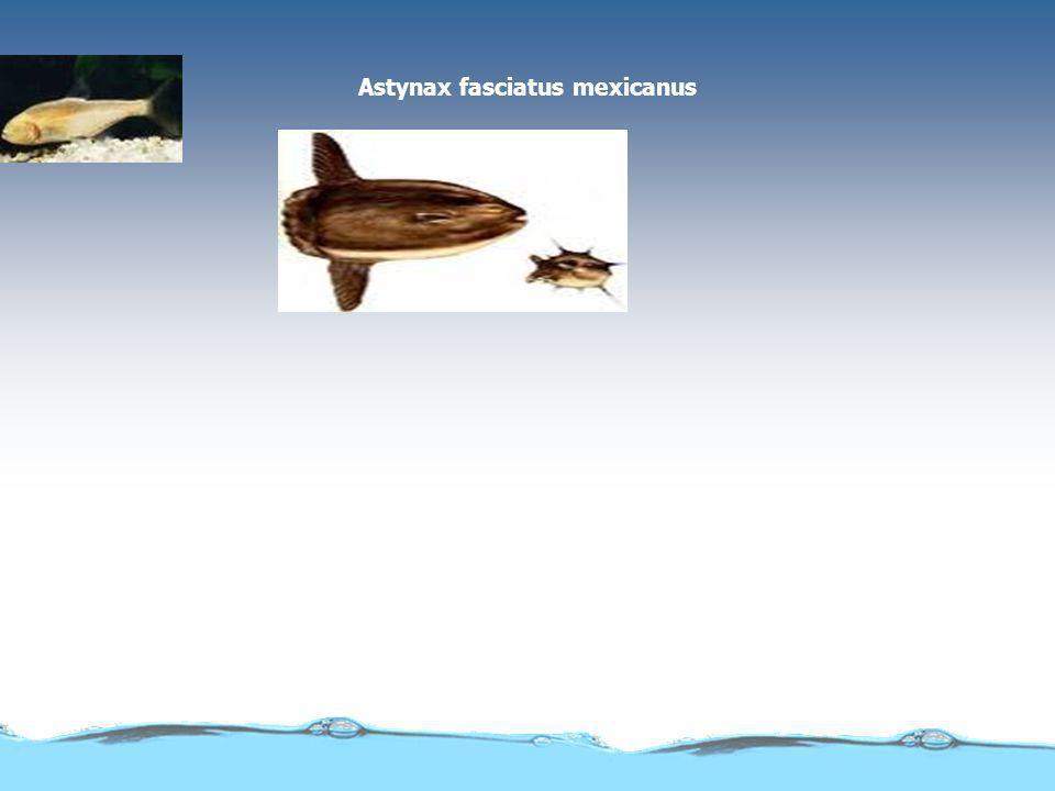 Astynax fasciatus mexicanus