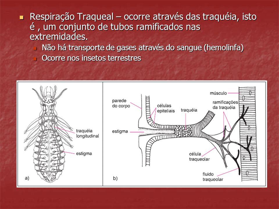 Respiração Traqueal – ocorre através das traquéia, isto é , um conjunto de tubos ramificados nas extremidades.