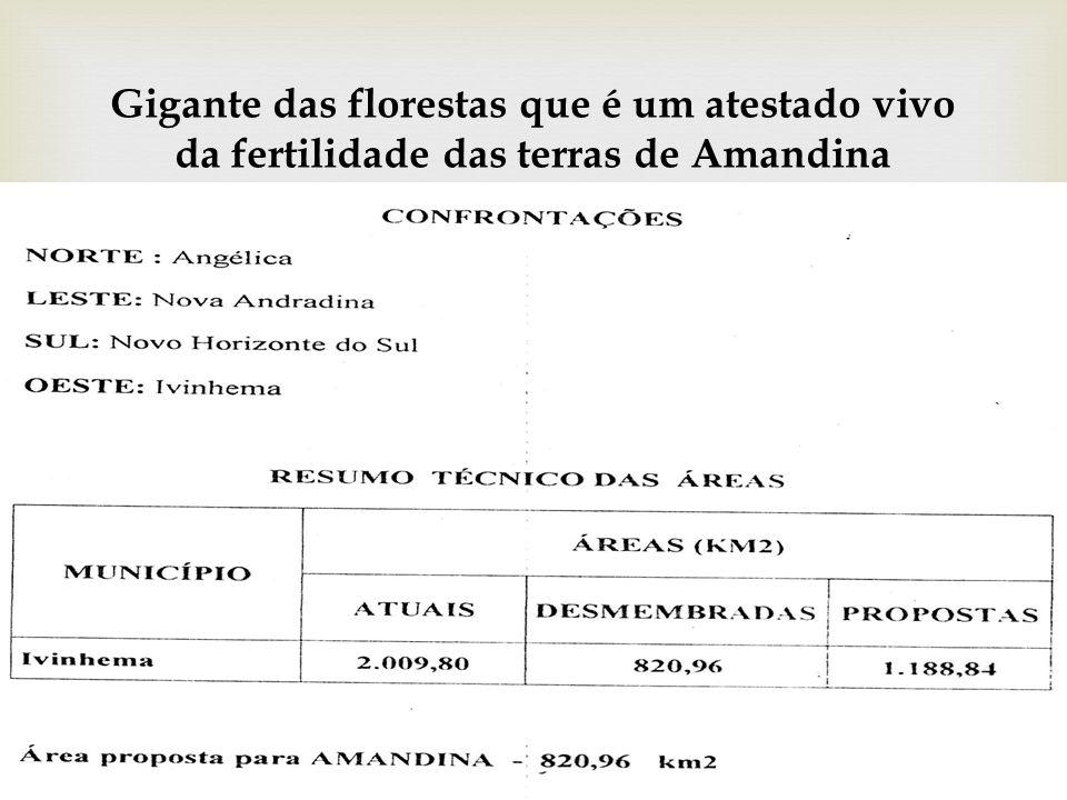 Gigante das florestas que é um atestado vivo da fertilidade das terras de Amandina