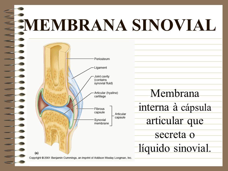 Membrana interna à cápsula articular que secreta o líquido sinovial.