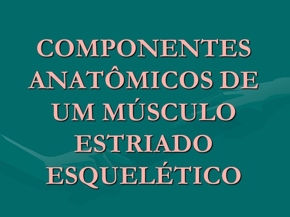 COMPONENTES ANATÔMICOS DE UM MÚSCULO ESTRIADO ESQUELÉTICO