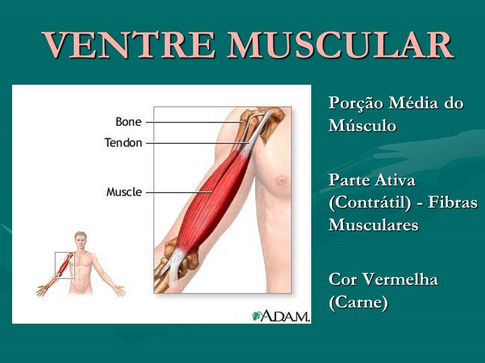 VENTRE MUSCULAR Porção Média do Músculo