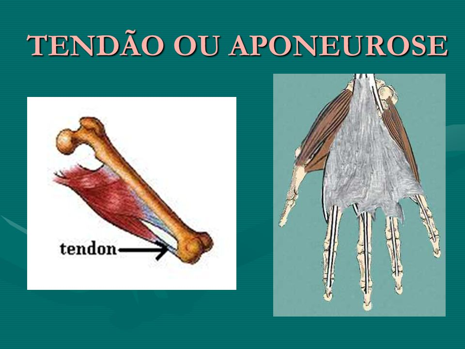 TENDÃO OU APONEUROSE