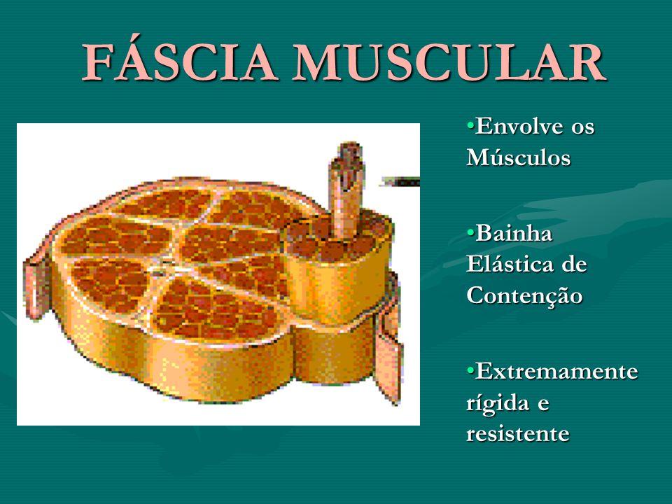 FÁSCIA MUSCULAR Envolve os Músculos Bainha Elástica de Contenção