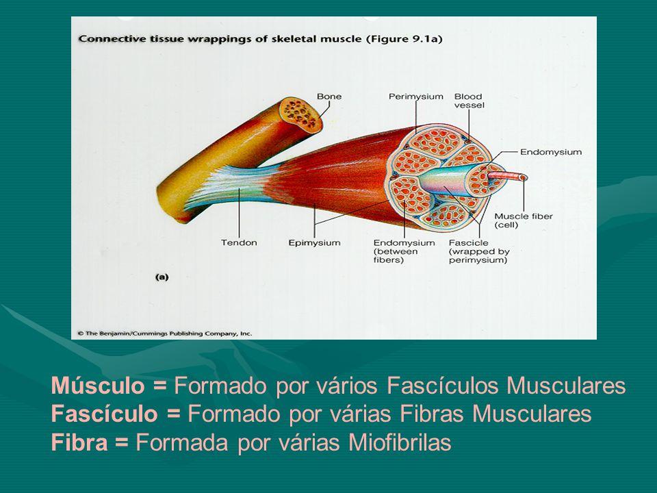 Músculo = Formado por vários Fascículos Musculares