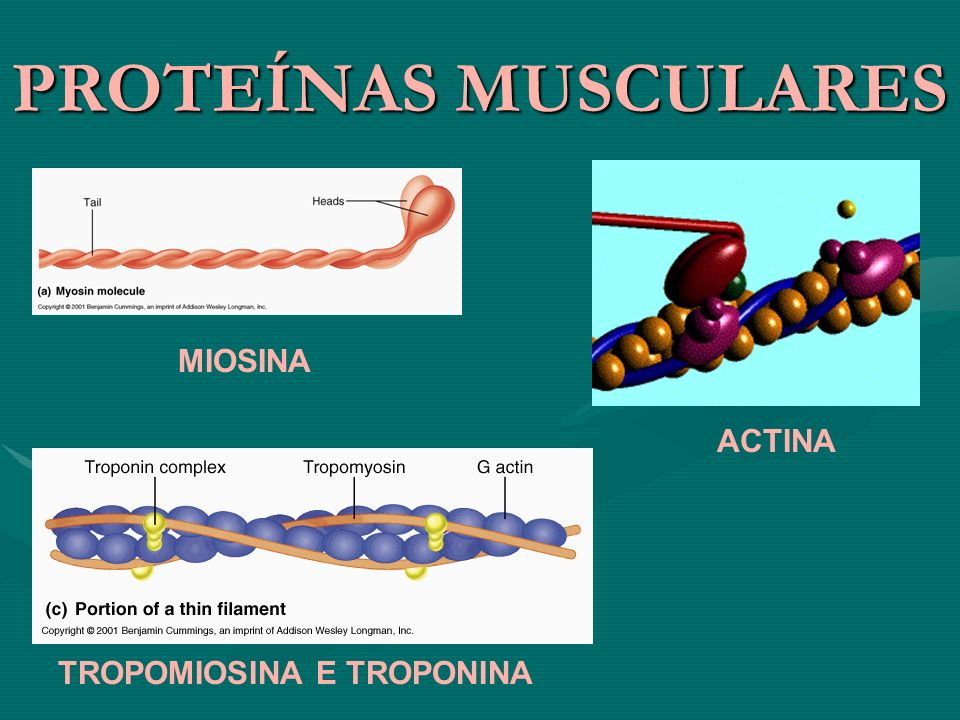PROTEÍNAS MUSCULARES MIOSINA ACTINA TROPOMIOSINA E TROPONINA