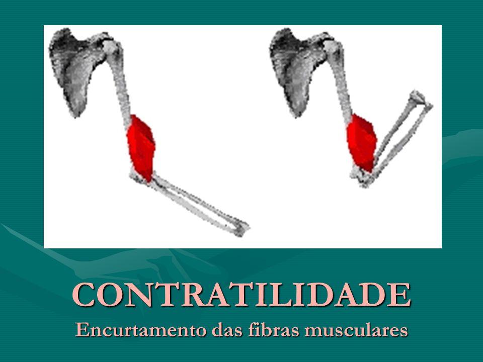 CONTRATILIDADE Encurtamento das fibras musculares