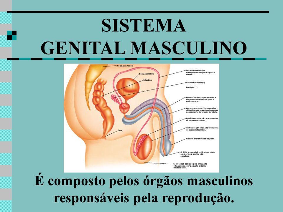 É composto pelos órgãos masculinos responsáveis pela reprodução.