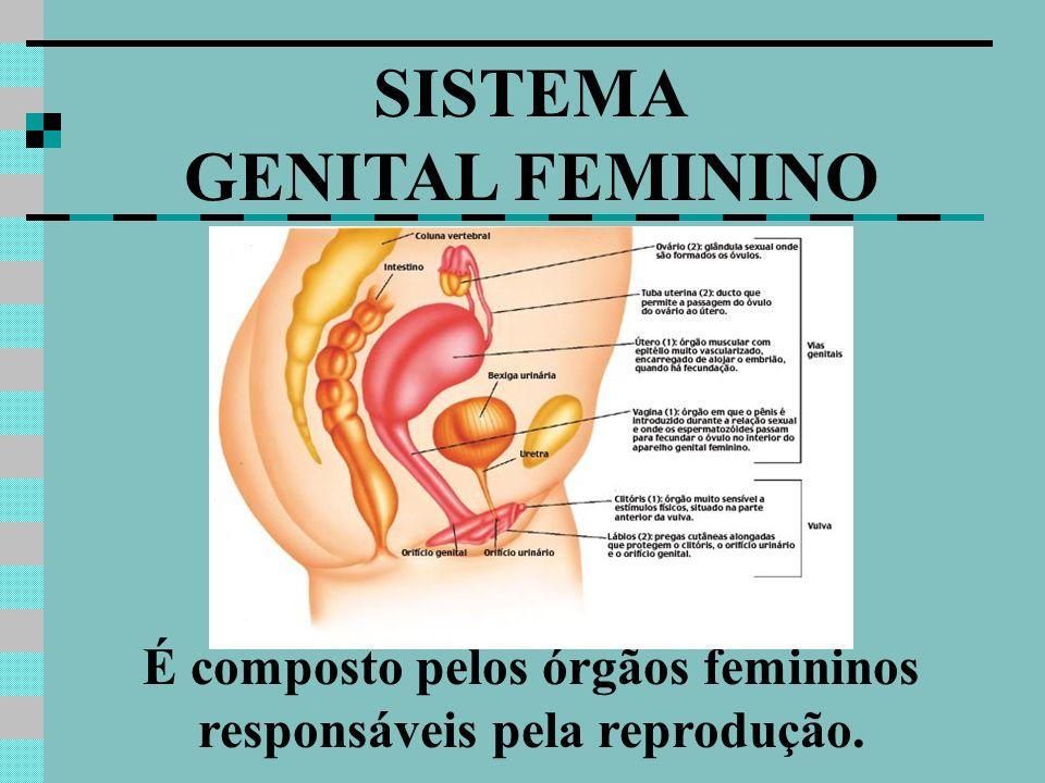 É composto pelos órgãos femininos responsáveis pela reprodução.