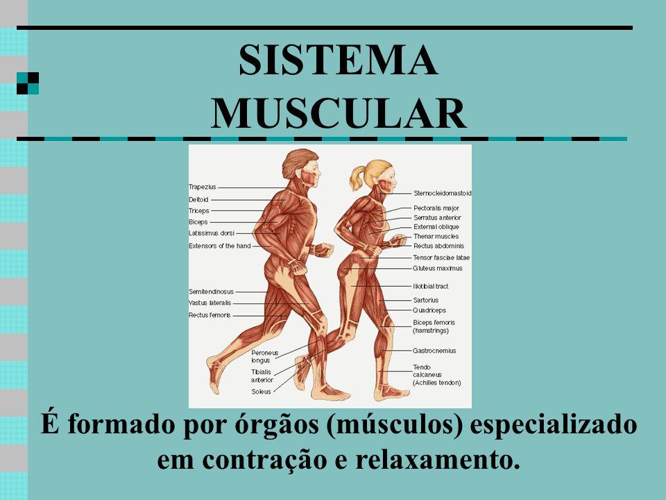 SISTEMA MUSCULAR É formado por órgãos (músculos) especializado em contração e relaxamento.
