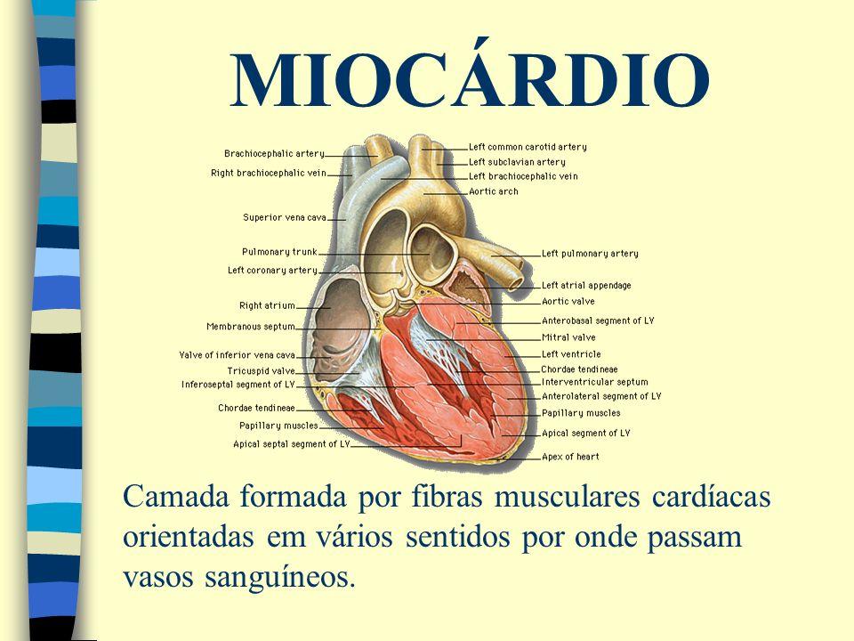 MIOCÁRDIO Camada formada por fibras musculares cardíacas orientadas em vários sentidos por onde passam vasos sanguíneos.