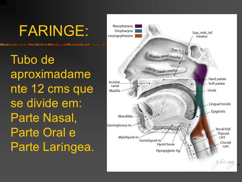 FARINGE: Tubo de aproximadamente 12 cms que se divide em: Parte Nasal, Parte Oral e Parte Laríngea.