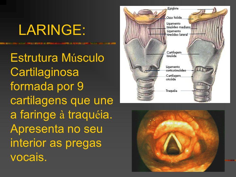 LARINGE: Estrutura Músculo Cartilaginosa formada por 9 cartilagens que une a faringe à traquéia.