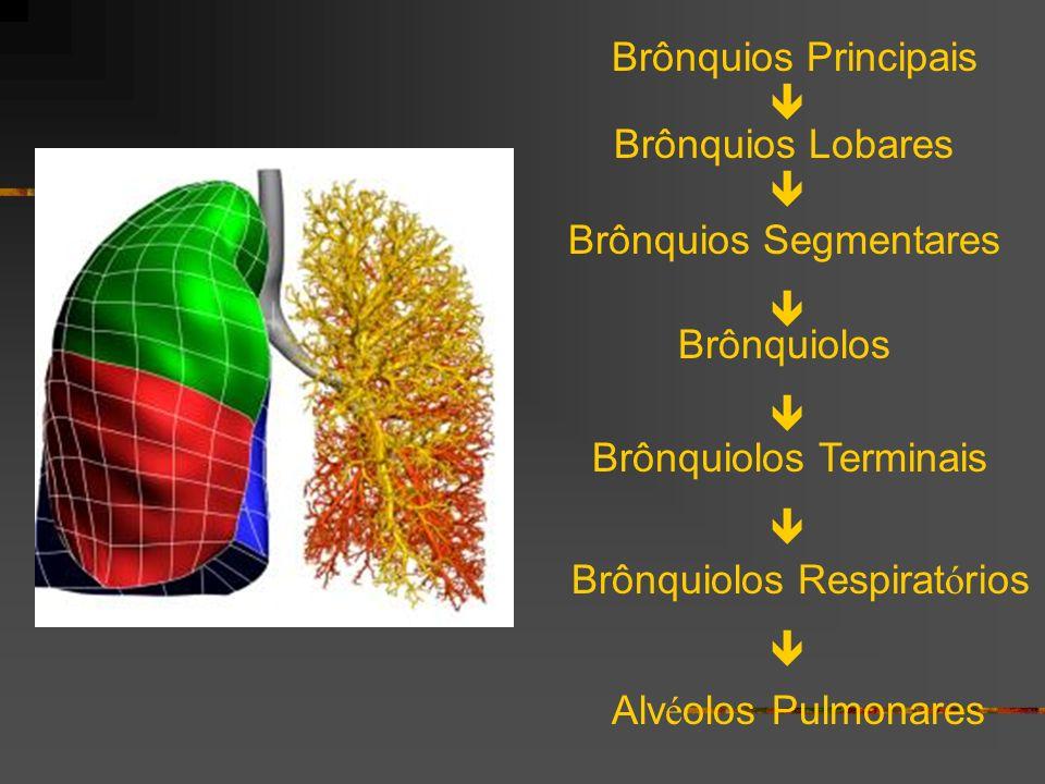 Brônquios Segmentares 