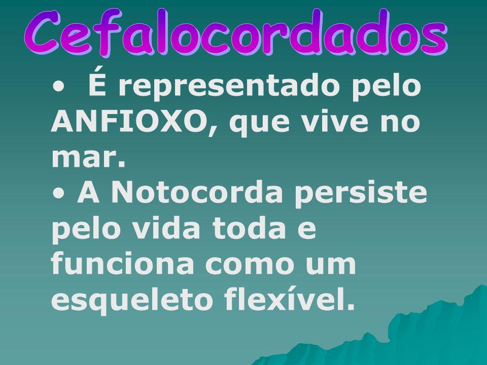 É representado pelo ANFIOXO, que vive no mar.