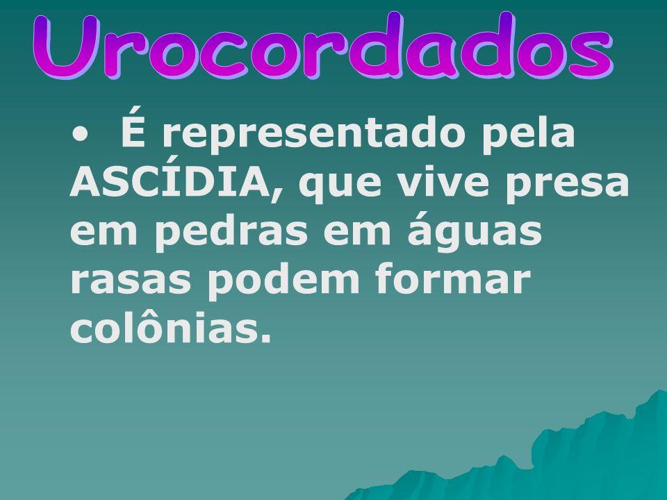 Urocordados É representado pela ASCÍDIA, que vive presa em pedras em águas rasas podem formar colônias.