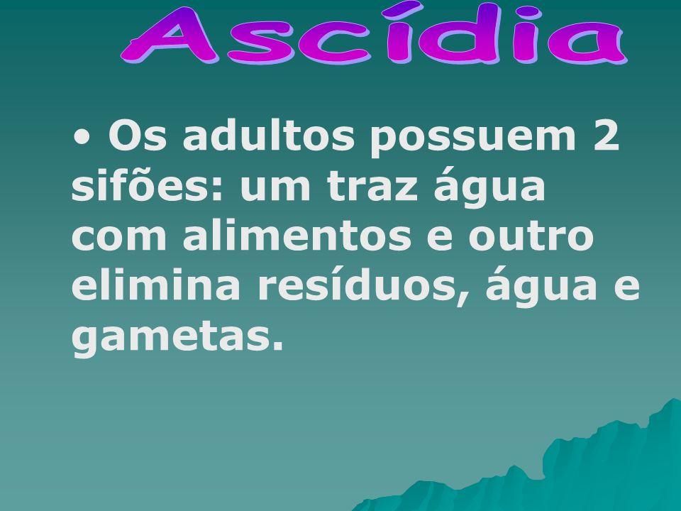 Ascídia Os adultos possuem 2 sifões: um traz água com alimentos e outro elimina resíduos, água e gametas.