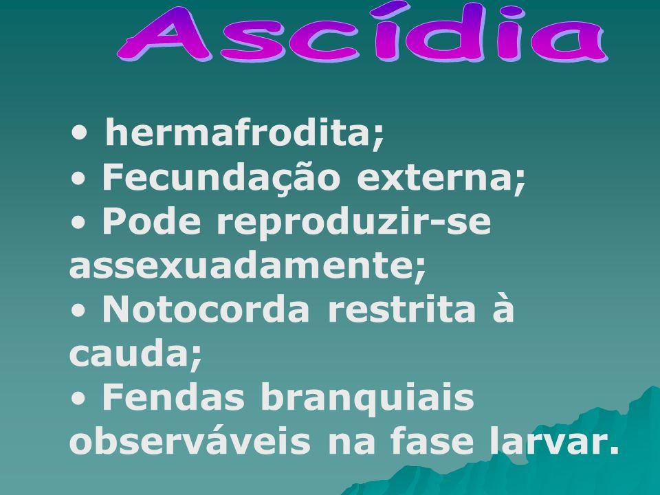 hermafrodita; Fecundação externa; Pode reproduzir-se assexuadamente;