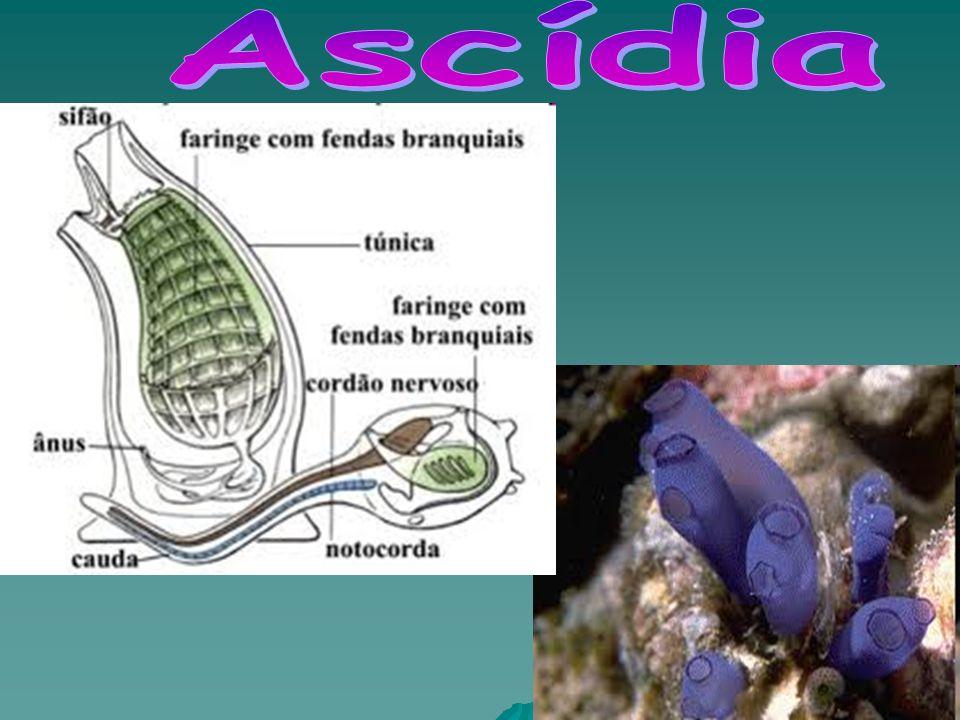 Ascídia