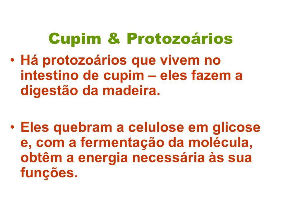 Cupim & Protozoários Há protozoários que vivem no intestino de cupim – eles fazem a digestão da madeira.