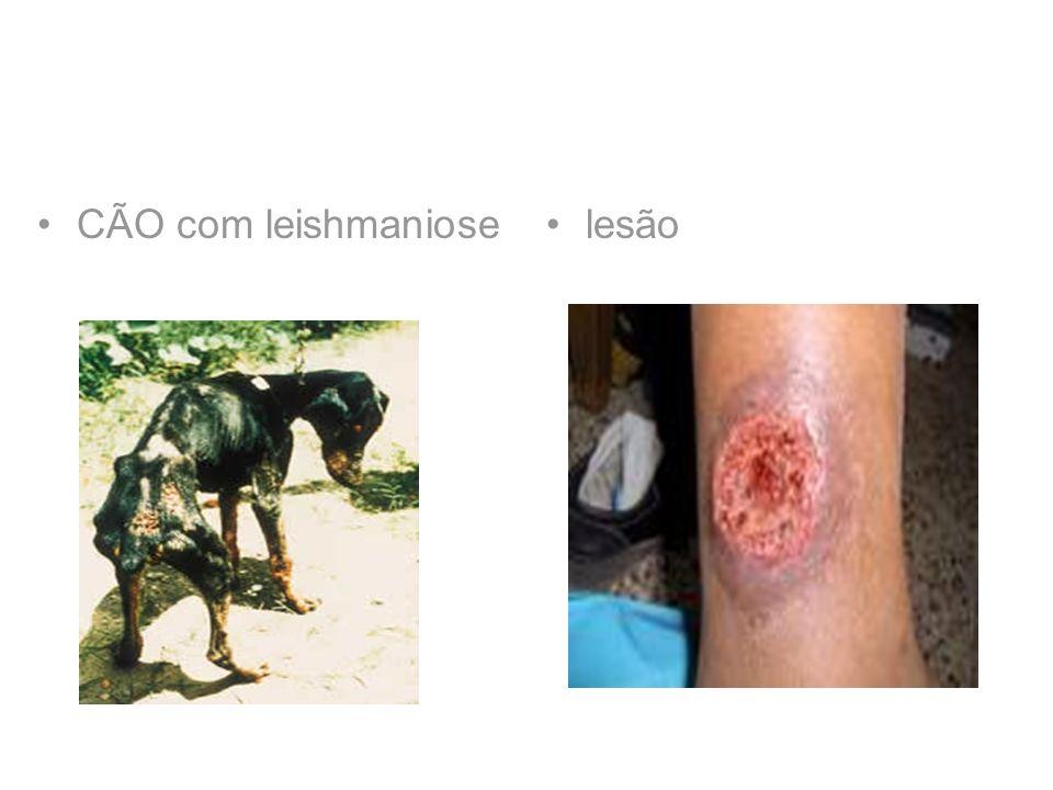 CÃO com leishmaniose lesão