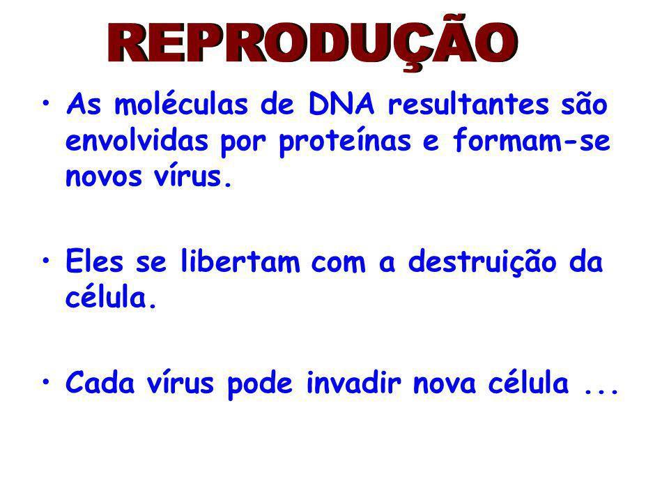 REPRODUÇÃO As moléculas de DNA resultantes são envolvidas por proteínas e formam-se novos vírus. Eles se libertam com a destruição da célula.