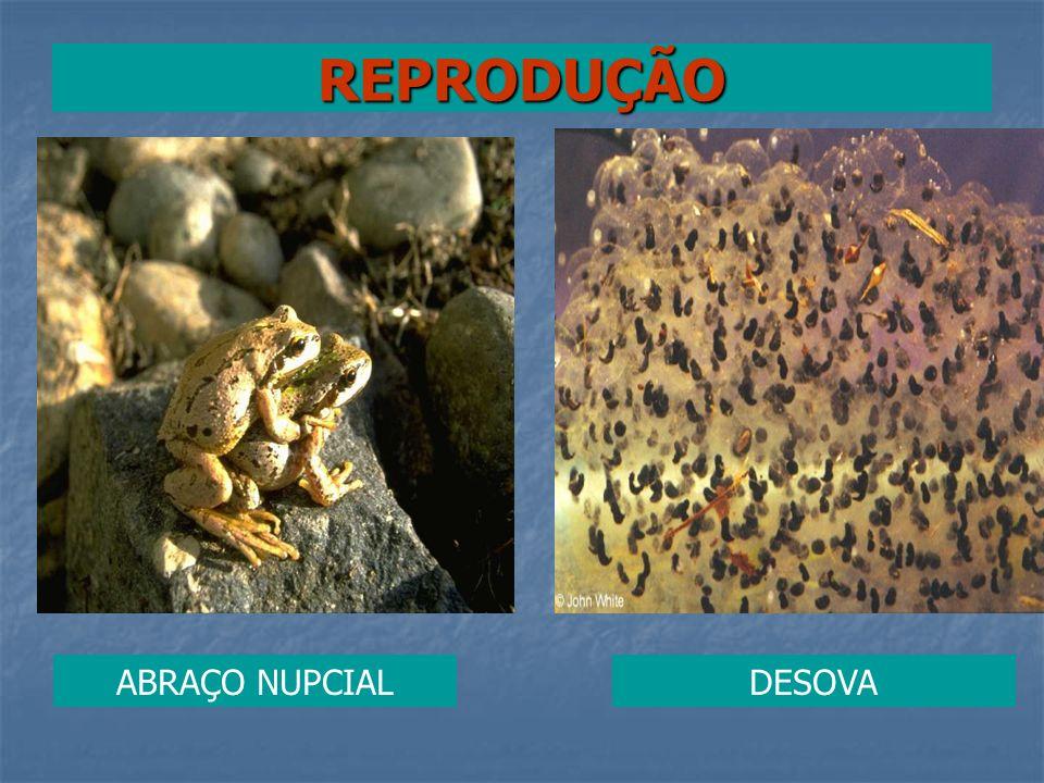 REPRODUÇÃO ABRAÇO NUPCIAL DESOVA