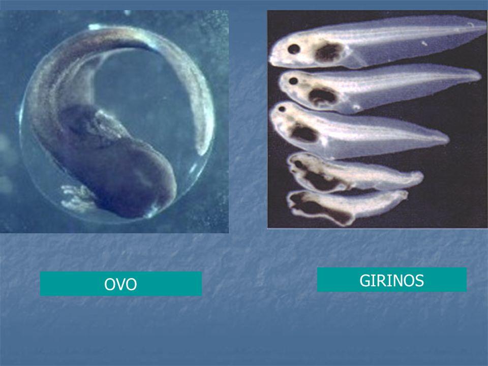 GIRINOS OVO