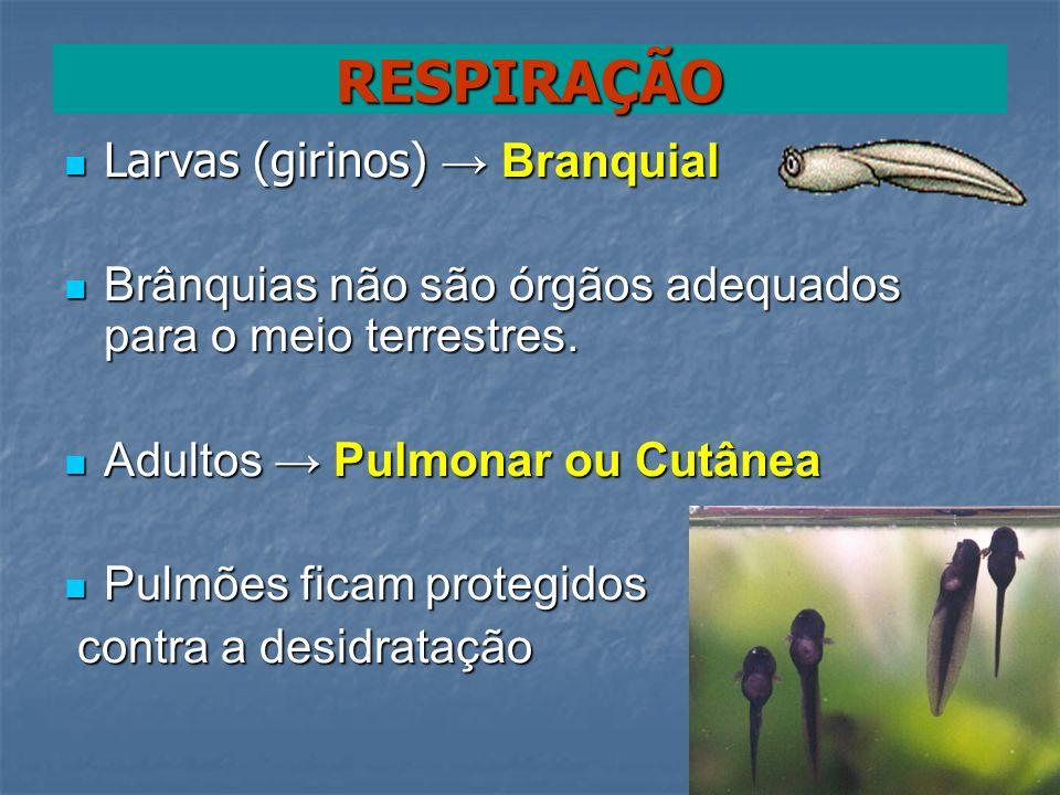 RESPIRAÇÃO Larvas (girinos) → Branquial