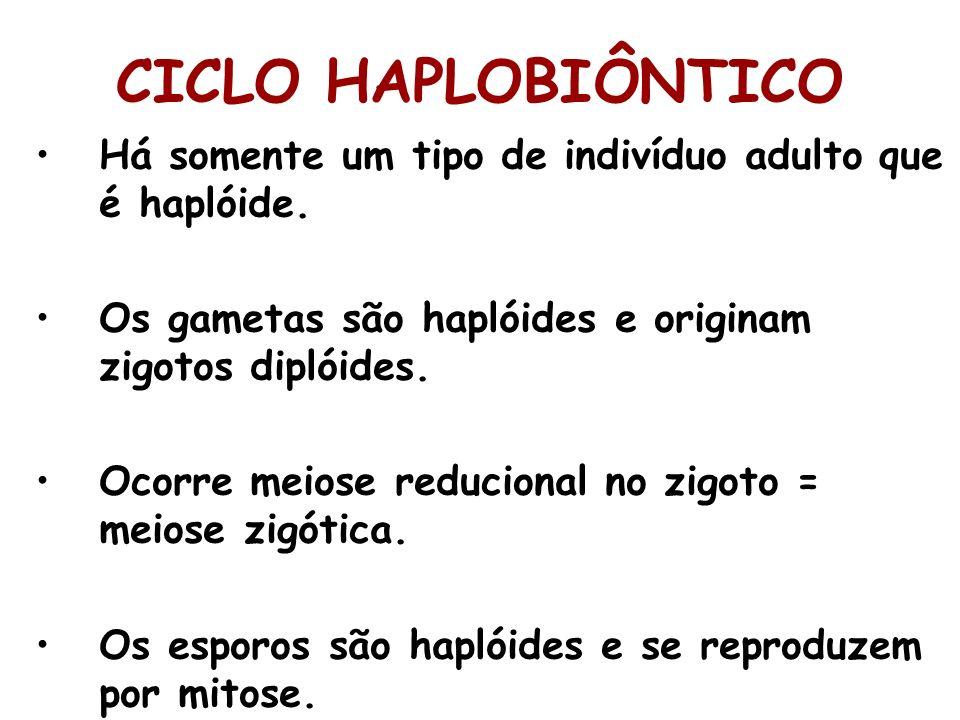 CICLO HAPLOBIÔNTICO Há somente um tipo de indivíduo adulto que é haplóide. Os gametas são haplóides e originam zigotos diplóides.