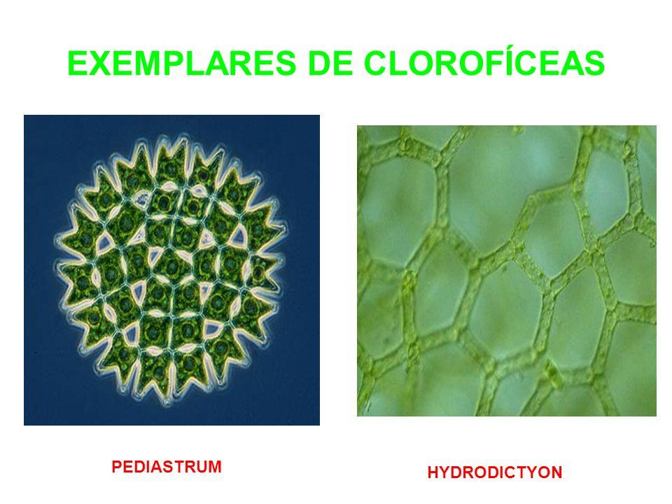 EXEMPLARES DE CLOROFÍCEAS