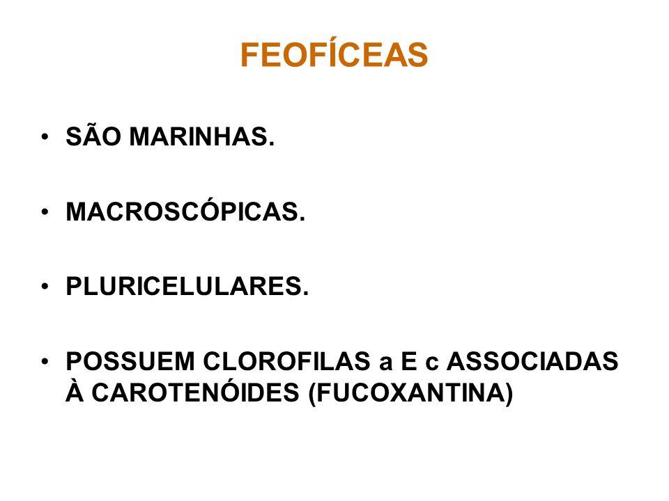 FEOFÍCEAS SÃO MARINHAS. MACROSCÓPICAS. PLURICELULARES.