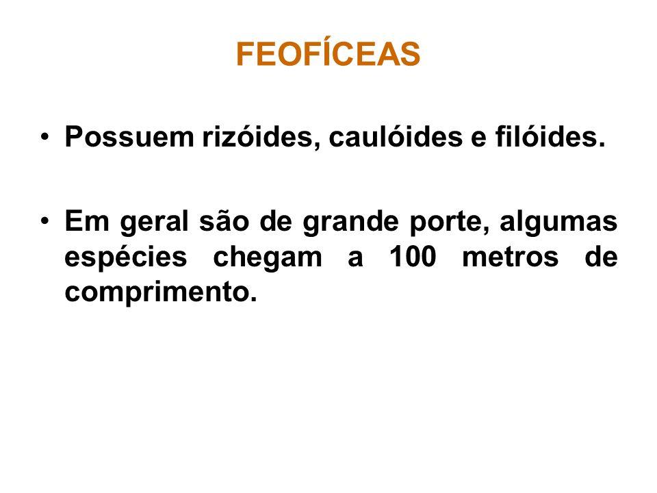 FEOFÍCEAS Possuem rizóides, caulóides e filóides.