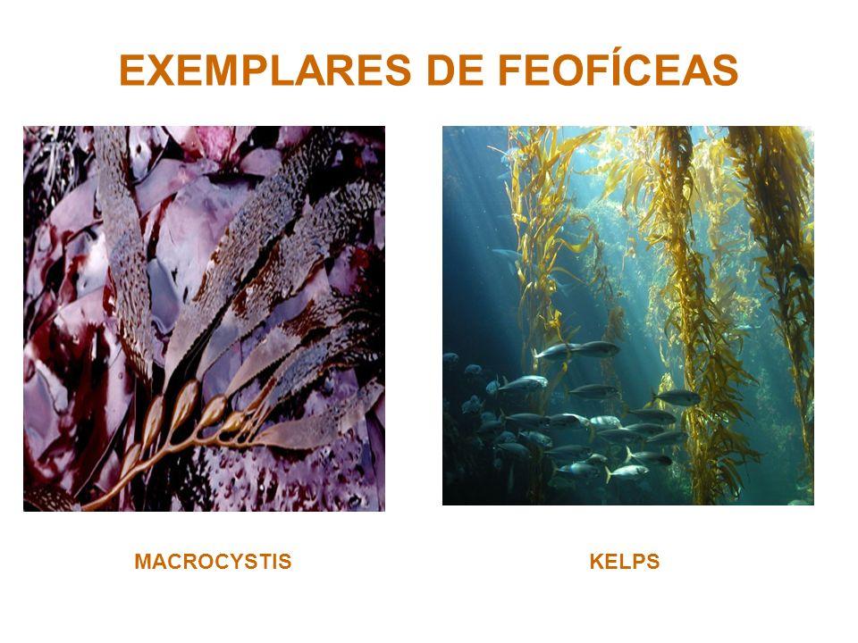 EXEMPLARES DE FEOFÍCEAS