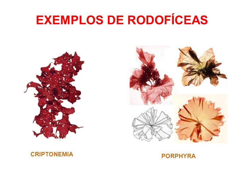 EXEMPLOS DE RODOFÍCEAS