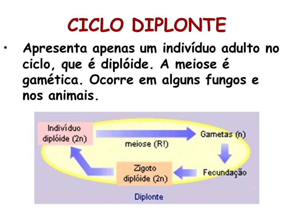 CICLO DIPLONTE Apresenta apenas um indivíduo adulto no ciclo, que é diplóide.