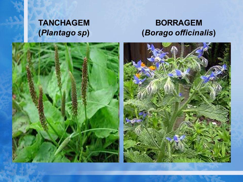 TANCHAGEM (Plantago sp) BORRAGEM (Borago officinalis)