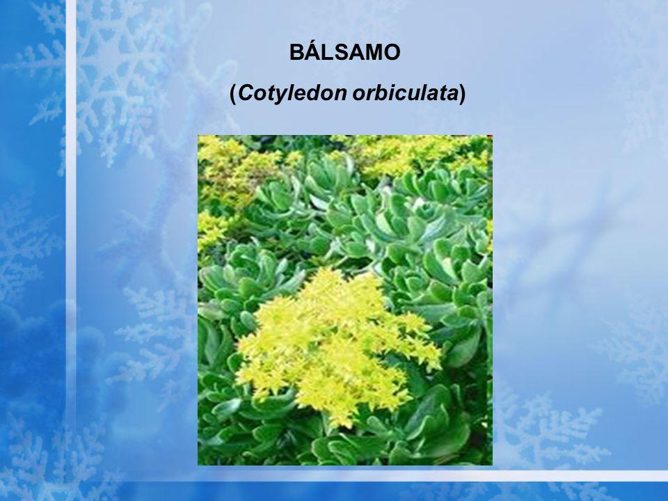 (Cotyledon orbiculata)