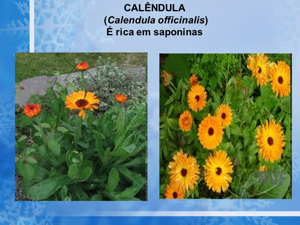 (Calendula officinalis)