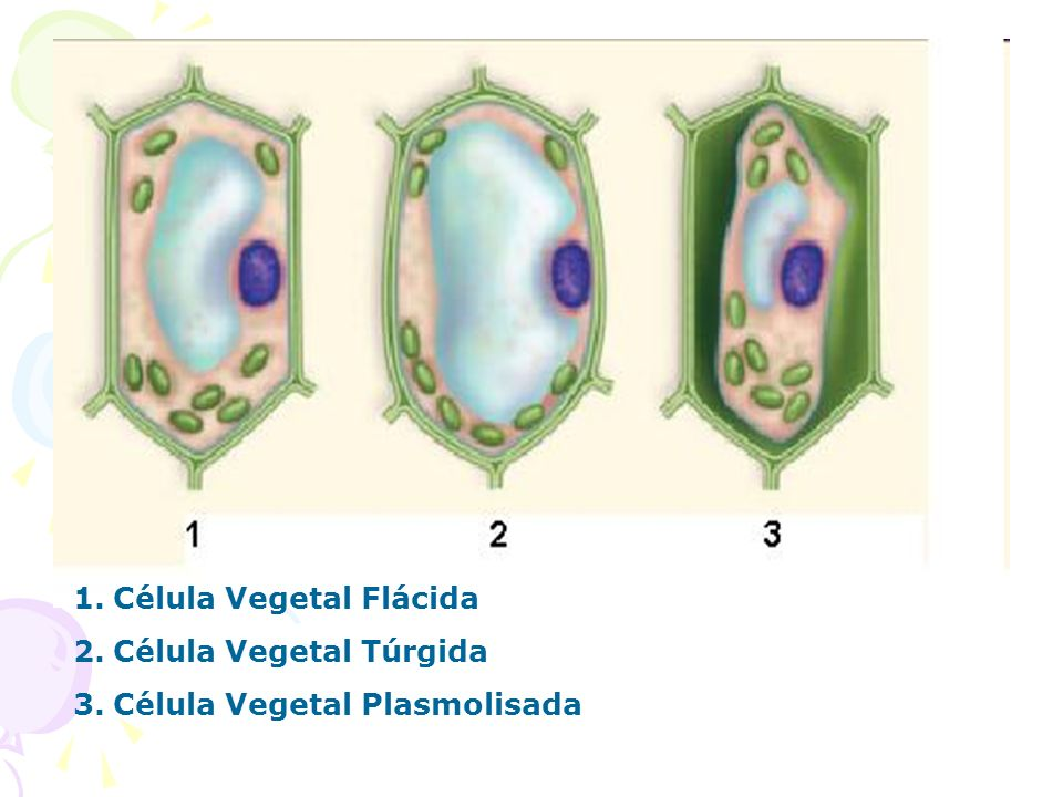 Célula Vegetal Flácida