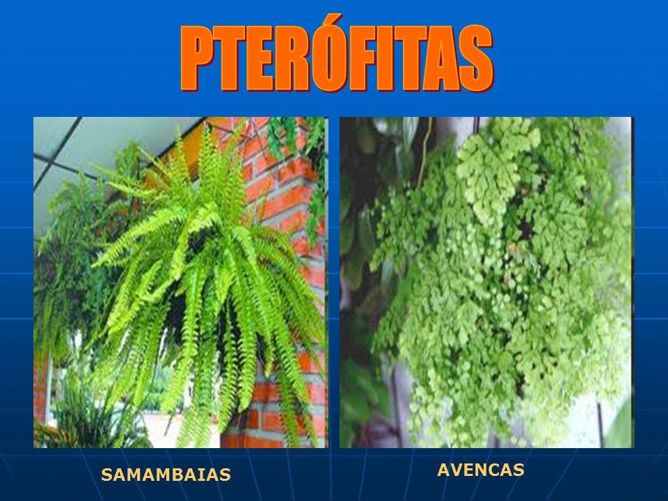 PTERÓFITAS AVENCAS SAMAMBAIAS