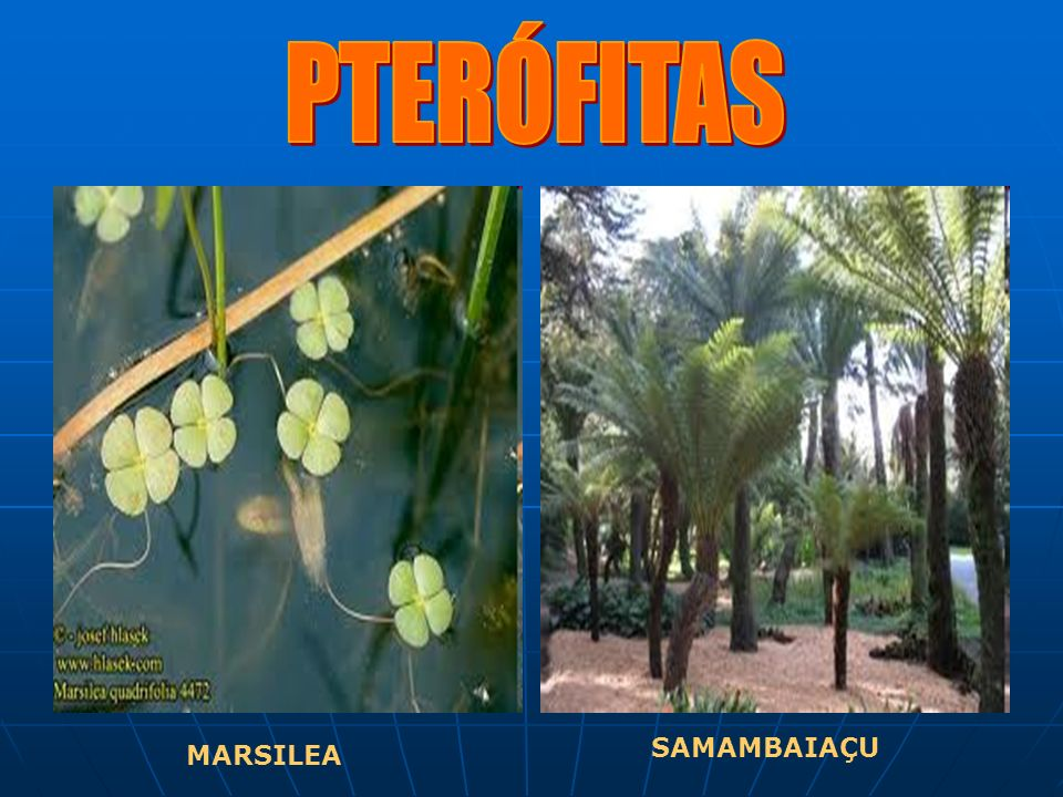PTERÓFITAS SAMAMBAIAÇU MARSILEA