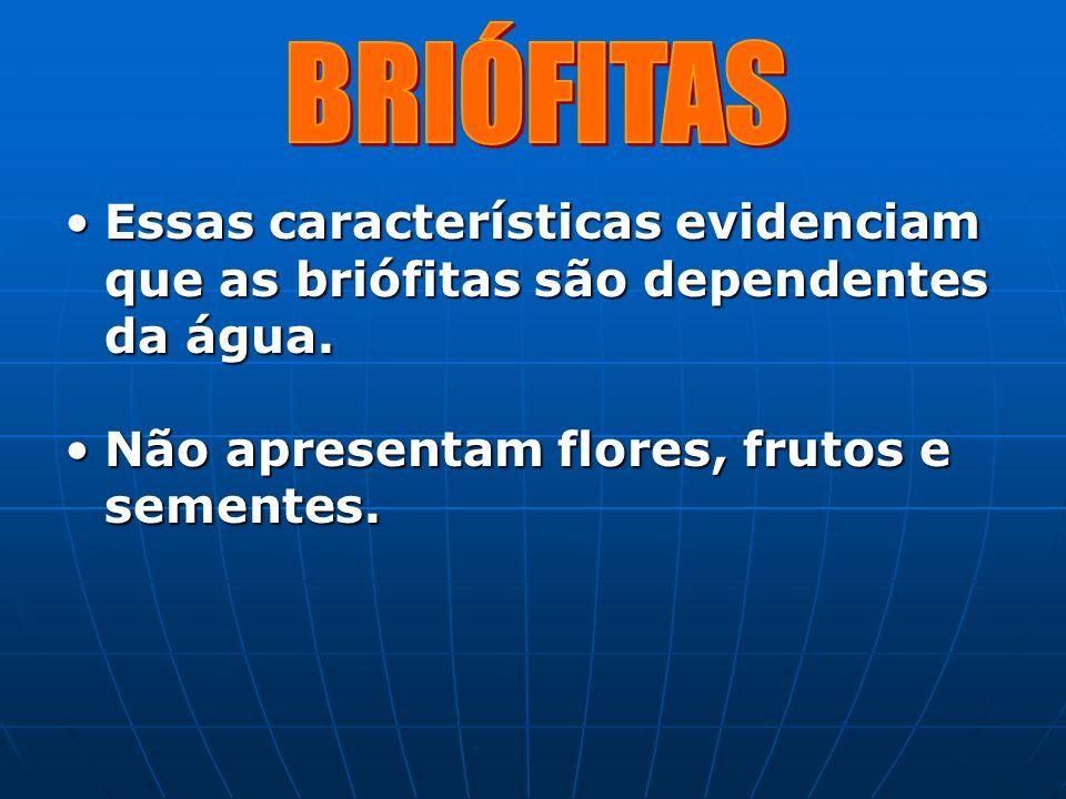 BRIÓFITAS Essas características evidenciam que as briófitas são dependentes da água.