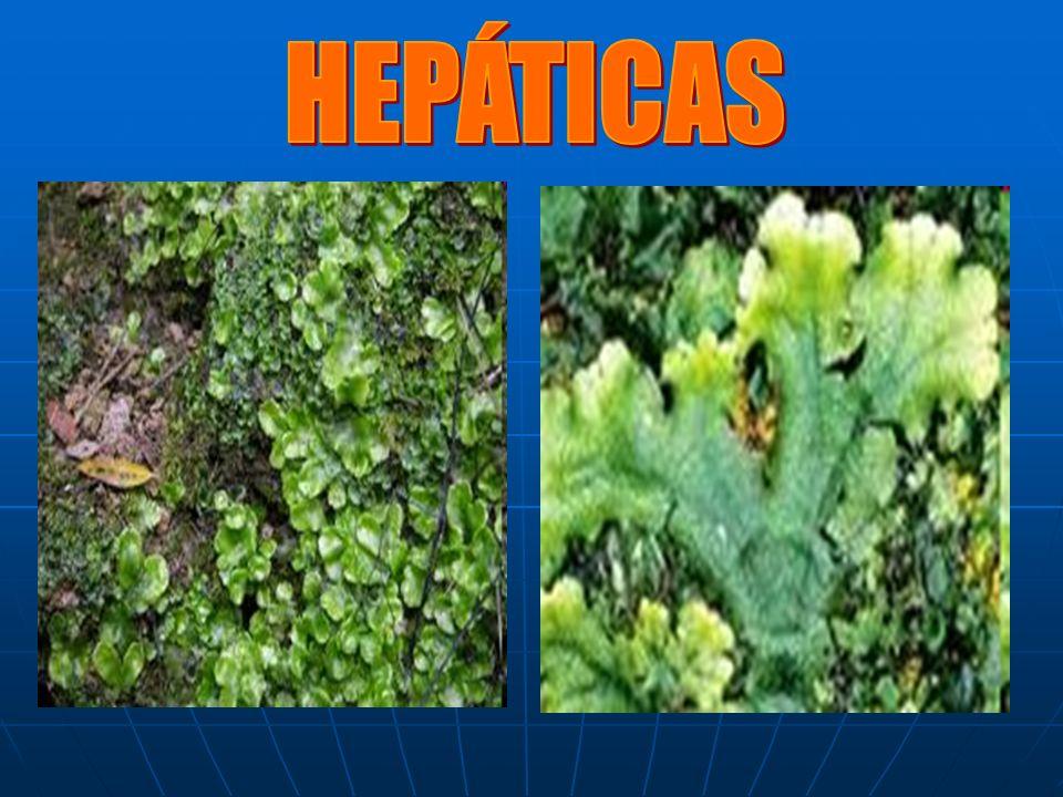 HEPÁTICAS