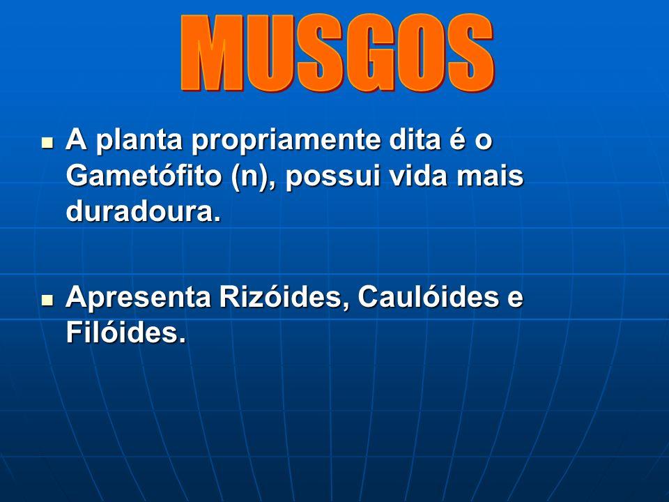 MUSGOS A planta propriamente dita é o Gametófito (n), possui vida mais duradoura.